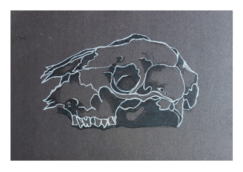 monochrome sheeps skull black and white pencil on black paper